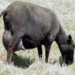 Инфекционная агалактия овец и коз