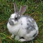 Стрептококковая септицемия кроликов