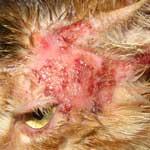 Стрептококкоз у собак