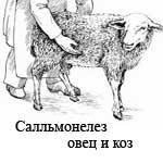 Сальмонеллез овец и коз
