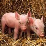 Энзоотический энцефаломиелит свиней