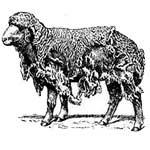 Чесотка овец