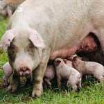 Кетоз супоросных свиноматок