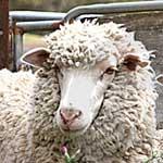 Кетоз овец