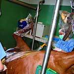 Заворот и перекручивание кишечника у животных