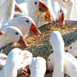 Закупорка пищевода у птиц
