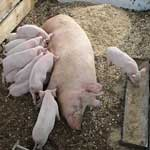 Проведение опороса свиноматок