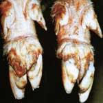 Щелочная болезнь животных