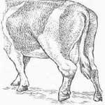 Уровская болезнь у животных