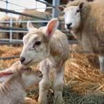 Проведение окота у овец и коз