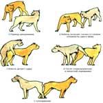 Половой акт у мелких домашних животных