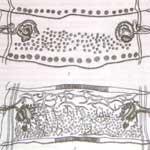 Мониезиоз крупного рогатого скота и овец