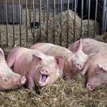 Свинокомплексы защитят от чумы свиней