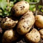 Отравление животных картофелем и картофельной ботвой