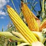 Отравление крупного рогатого скота кукурузой